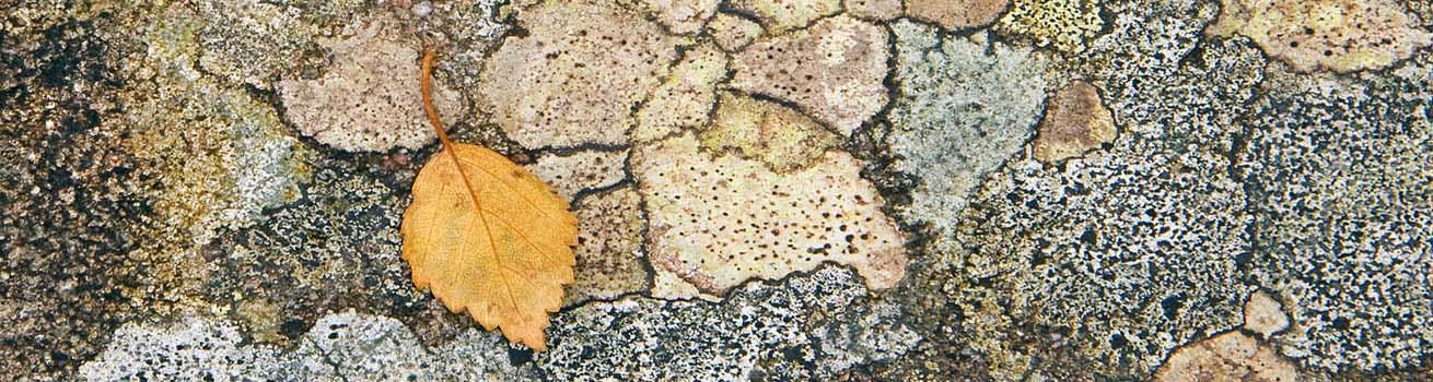 Lichens 1310 x 350